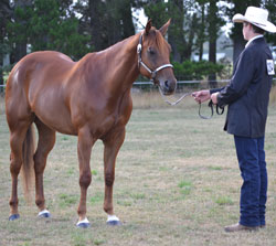 Showmanship at halter, photo by Susan Dalzell